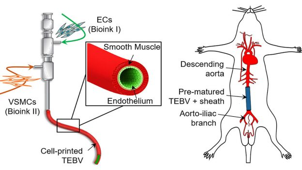 Tissue engineering blood vessels